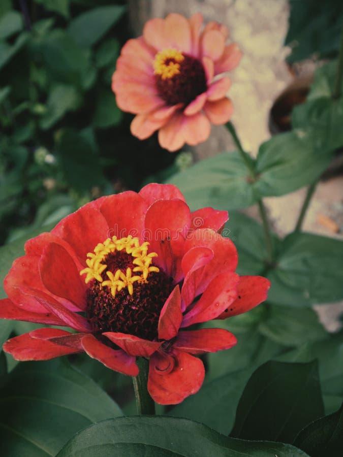 La fleur, abeille, pourpre, a flairé, rouge images stock