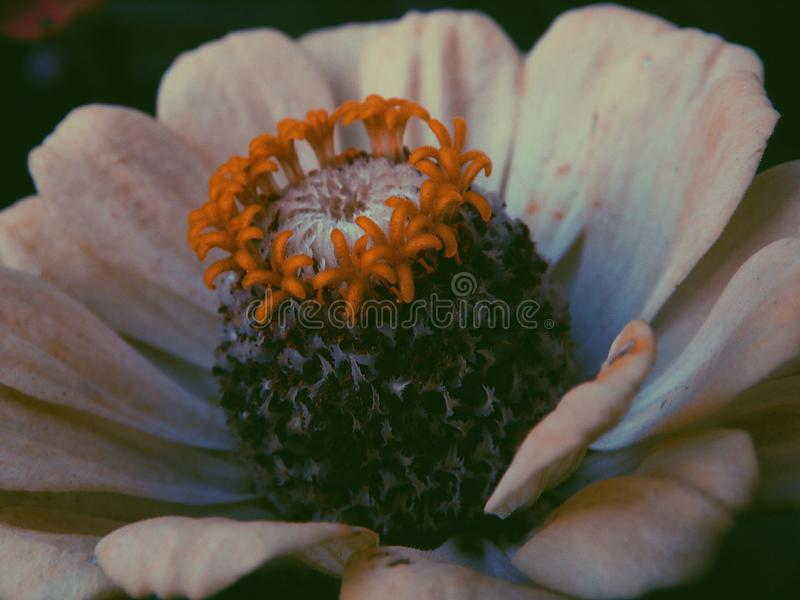 La fleur, abeille, pourpre, a flairé, whitee photographie stock libre de droits