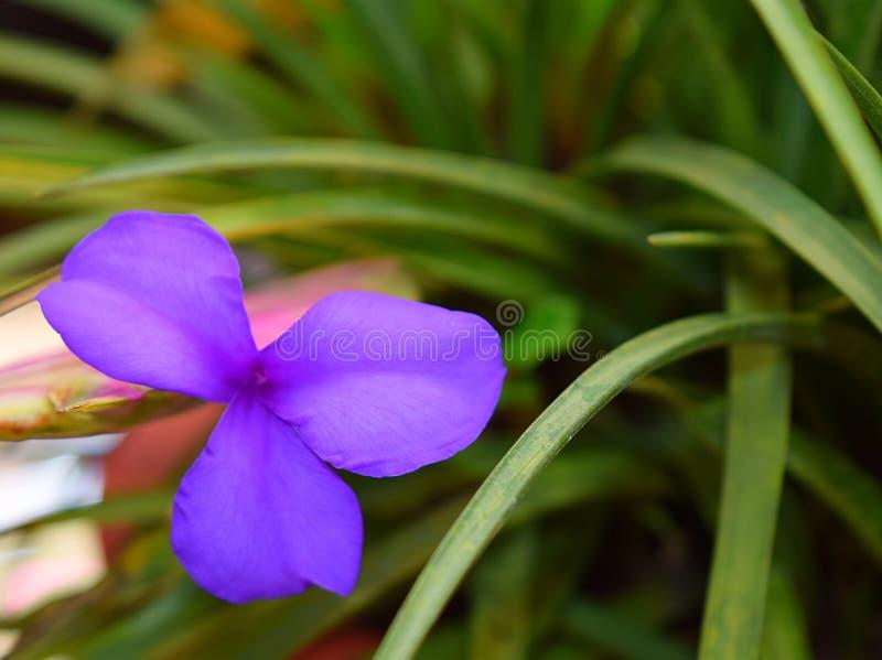 La fleur avec trois pétales lilas de lavande avec l'herbe verte laisse à nature le fond floral photographie stock libre de droits
