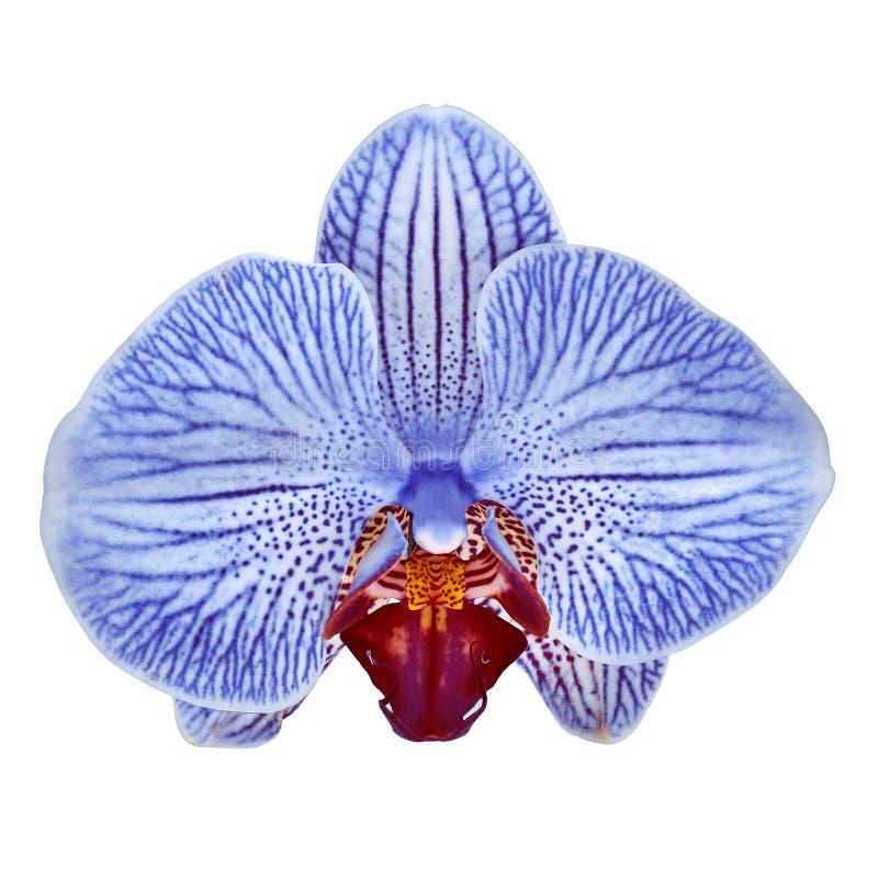 La fleur blanche bleue d'orchidée de carmin a isolé le fond blanc avec le chemin de coupure Plan rapproché de bourgeon floral photos stock