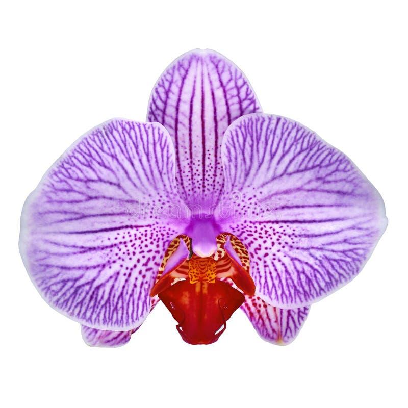 La fleur blanche d'orchidée de sangria d'améthyste a isolé le fond blanc avec le chemin de coupure Plan rapproché de bourgeon flo image libre de droits