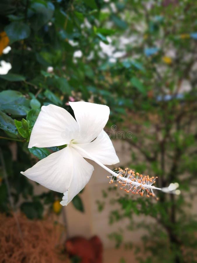 La fleur blanche de chaussure photographie stock libre de droits