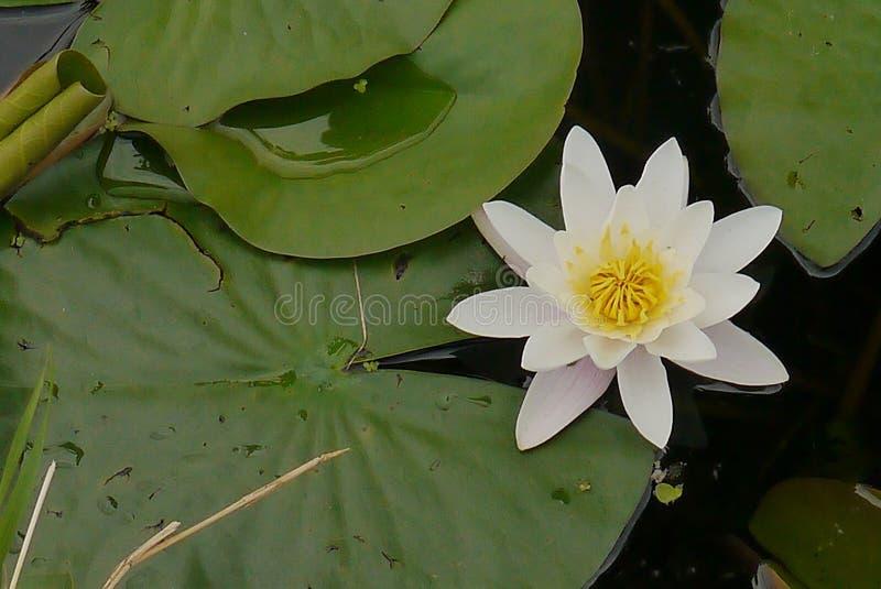 La fleur blanche de lis d'étoile brille images stock