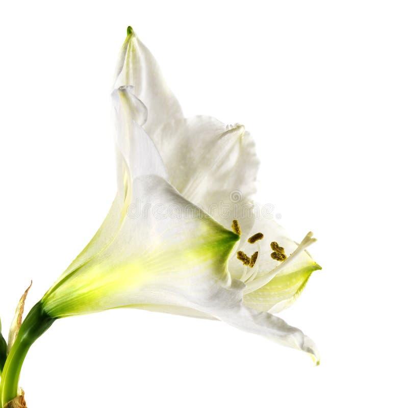 La fleur blanche Hippeastrum d'amaryllis, se ferment vers le haut du tir de la fleur et photo stock