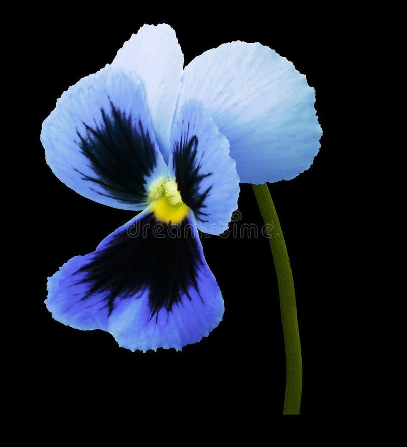 La fleur bleue de pensée sur le noir a isolé le fond avec le chemin de coupure Plan rapproché aucune ombres image stock