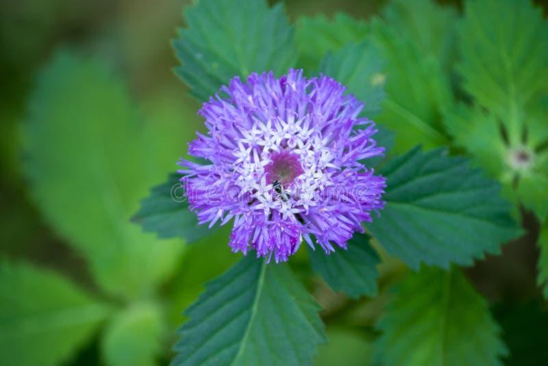 La fleur brésilienne de bouton fleurit avec les fleurs pourpres lumineuses photos stock