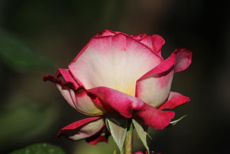 La fleur bulgare s'est levée des traditions dans l'histoire et à l'avenir la rose rouge de fleur bulgare s'est levée photographie stock libre de droits