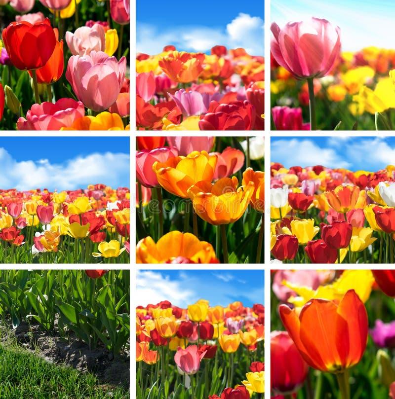 La fleur colorée de tulipe a placé - le collage de collection de neuf photos de nature photos stock