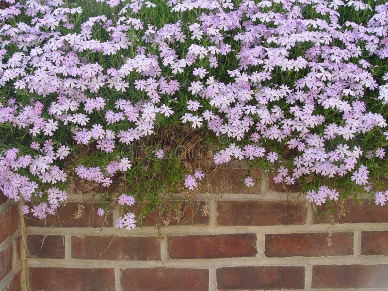 La fleur a complété le mur image libre de droits