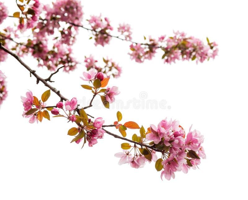La fleur d'arbre de ressort sur le fond blanc, se ferment  photographie stock libre de droits