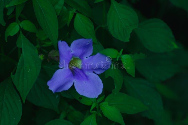 La fleur d'herbe de laurifolia de Thunbergia est une variété médicinale en main photo libre de droits