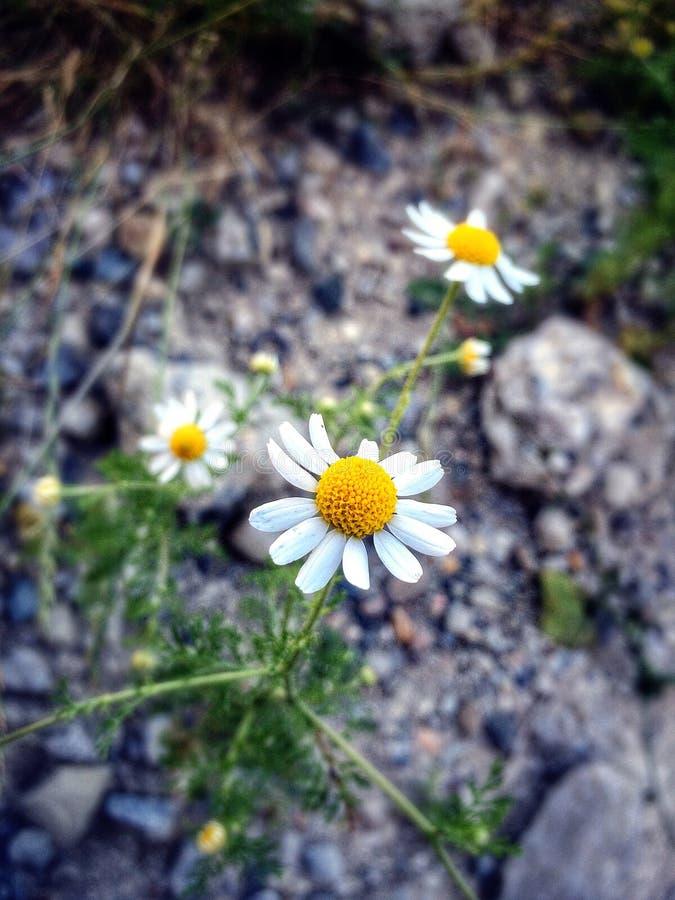La fleur dans les montagnes photographie stock