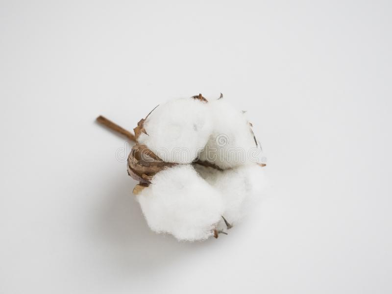 La fleur de bourgeon de coton a isolé Fond gris de floweron blanc sec photographie stock