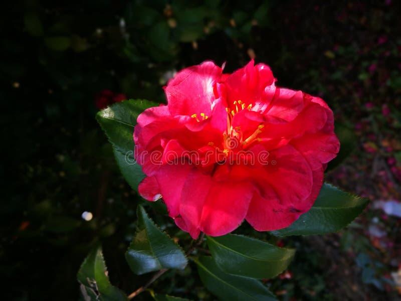 La fleur de camélia fleurissant pendant l'hiver photographie stock