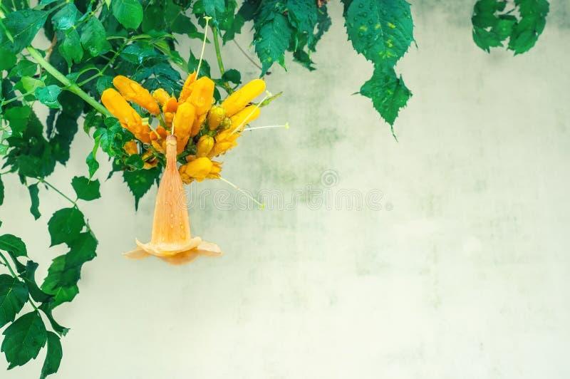 La fleur de Campsis est une fleur orange tubulaire contre un feuillage brillant, dense, vert d'une vigne touffue Groupe de fleurs image stock