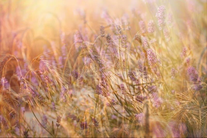 La fleur de champ et de lavande de blé s'est allumée par lumière du soleil photographie stock libre de droits