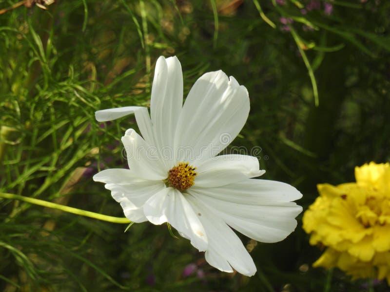 Download La Fleur De Cosmos Est Une Usine Sensible Qui Embellit Facilement Un Jardin Par Ses Nombreuses Fleurs Tout Au Long De L'été Image stock - Image du frais, facile: 87704765