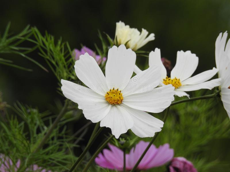 Download La Fleur De Cosmos Est Une Usine Sensible Qui Embellit Facilement Un Jardin Par Ses Nombreuses Fleurs Tout Au Long De L'été Photo stock - Image du jours, gels: 87705104