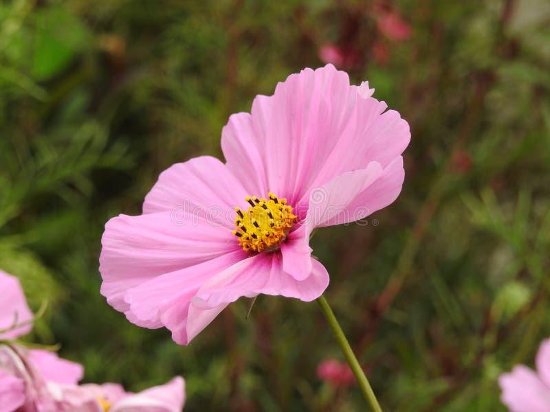 Download La Fleur De Cosmos Est Une Usine Sensible Qui Embellit Facilement Un Jardin Par Ses Nombreuses Fleurs Tout Au Long De L'été Photo stock - Image du cosmos, famille: 87705110