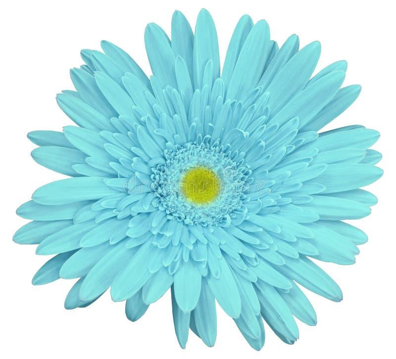 La fleur de gerbera de turquoise, blanc a isolé le fond avec le chemin de coupure closeup Aucune ombres Pour la conception image libre de droits