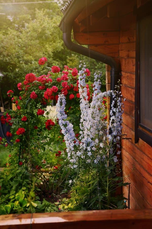 La fleur de Helenium et le rosier rouge pendant le bel été font du jardinage photographie stock libre de droits