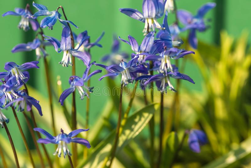 La fleur de la jacinthe des bois dans la nature Fermez-vous, macro Le fond est indistinct images stock