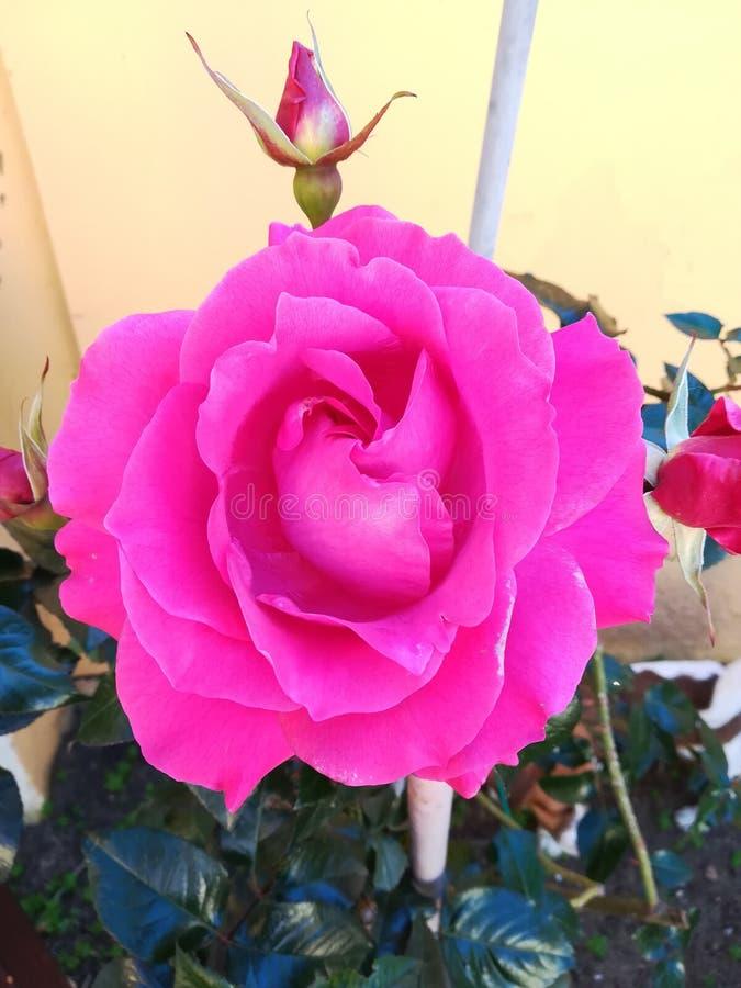 La fleur de l'amour photos libres de droits