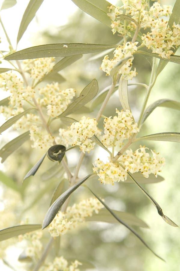 La fleur de l'olive photographie stock libre de droits