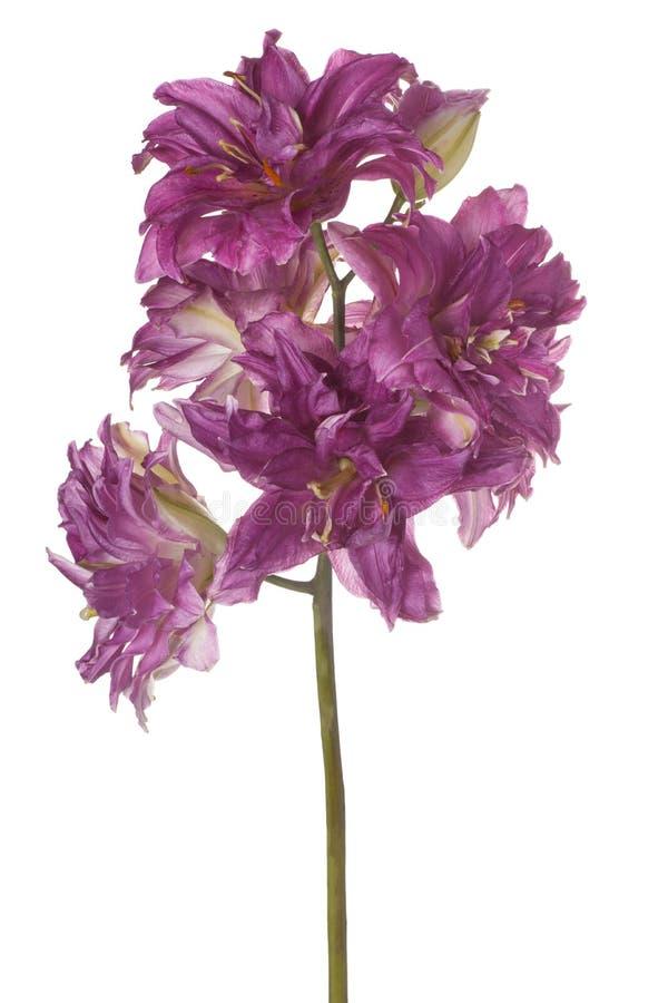 La fleur de lis a isolé images stock