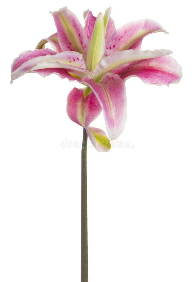 La fleur de lis a isolé photographie stock libre de droits