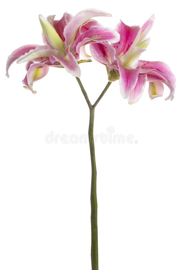 La fleur de lis a isol? image libre de droits