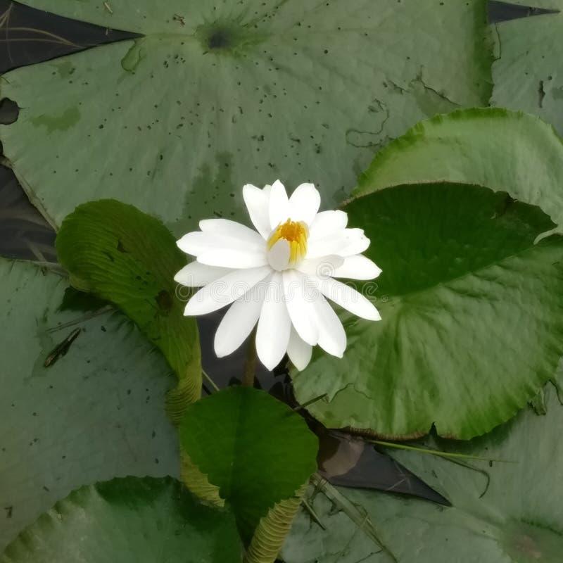 La fleur de lotus artificielle photographie stock libre de droits