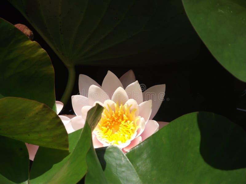 La fleur de Lotus dans un lac artificiel à Istanbul, avec des feuilles de lotus image stock