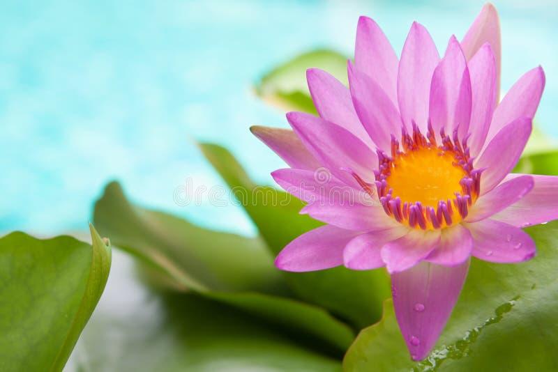 la fleur de lotus rose de floraison sur la turquoise lumineuse