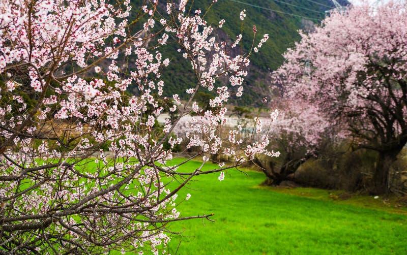 La fleur de pêche et l'orge de montagne mettent en place dans le village tibétain photos stock
