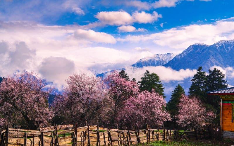 La fleur de pêche et l'orge de montagne mettent en place dans le village tibétain images libres de droits