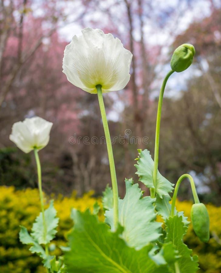 La fleur de pavot, savent également comme usine d'opium photos stock