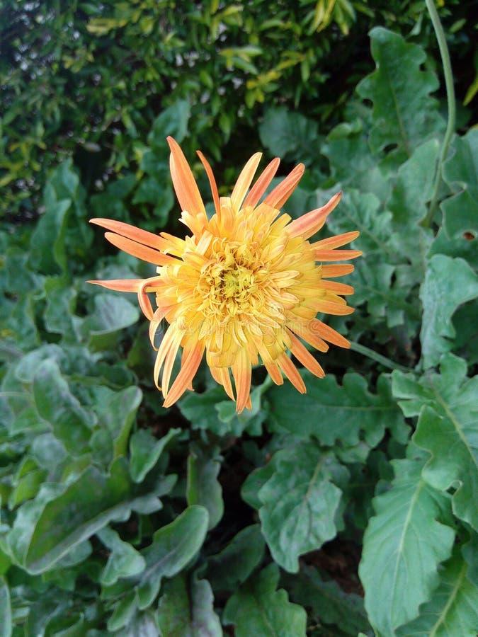 La fleur de pissenlit est le Sri Lanka photos stock