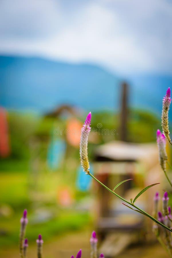 La fleur de pourpre d'argentea de Celosia et blanche, de belles fleurs roses de celosia fleurissant dans gerden photos libres de droits