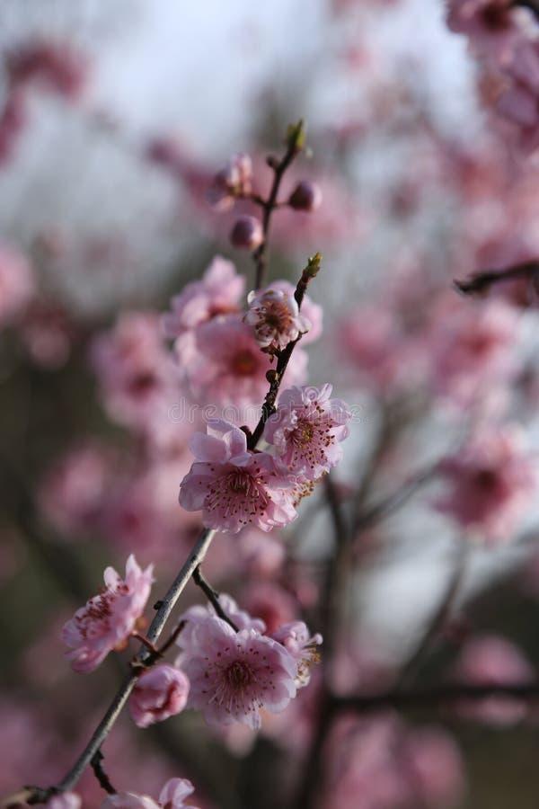 La fleur de prune photographie stock libre de droits