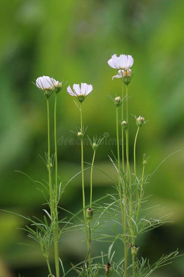 La fleur de Qiuying, une de la série photographie stock