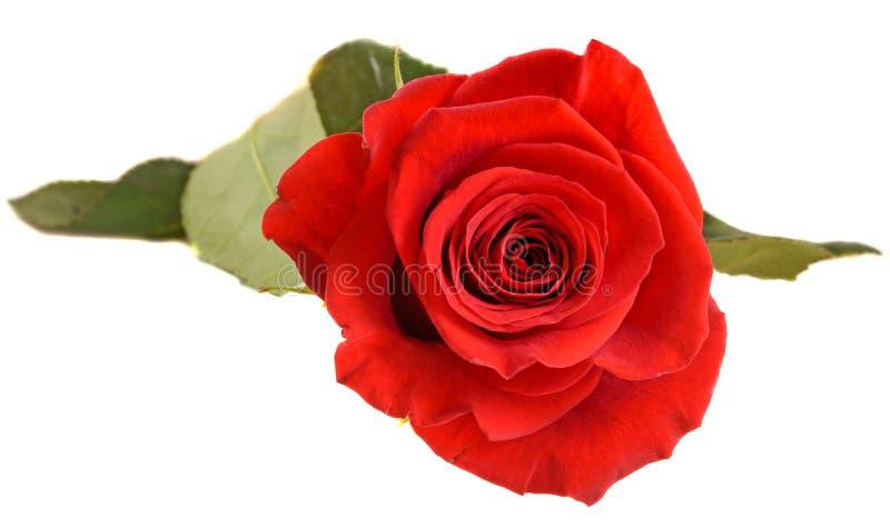La fleur de rose de rouge, se ferment, coupe-circuit d'isolement et blanc de fond images stock
