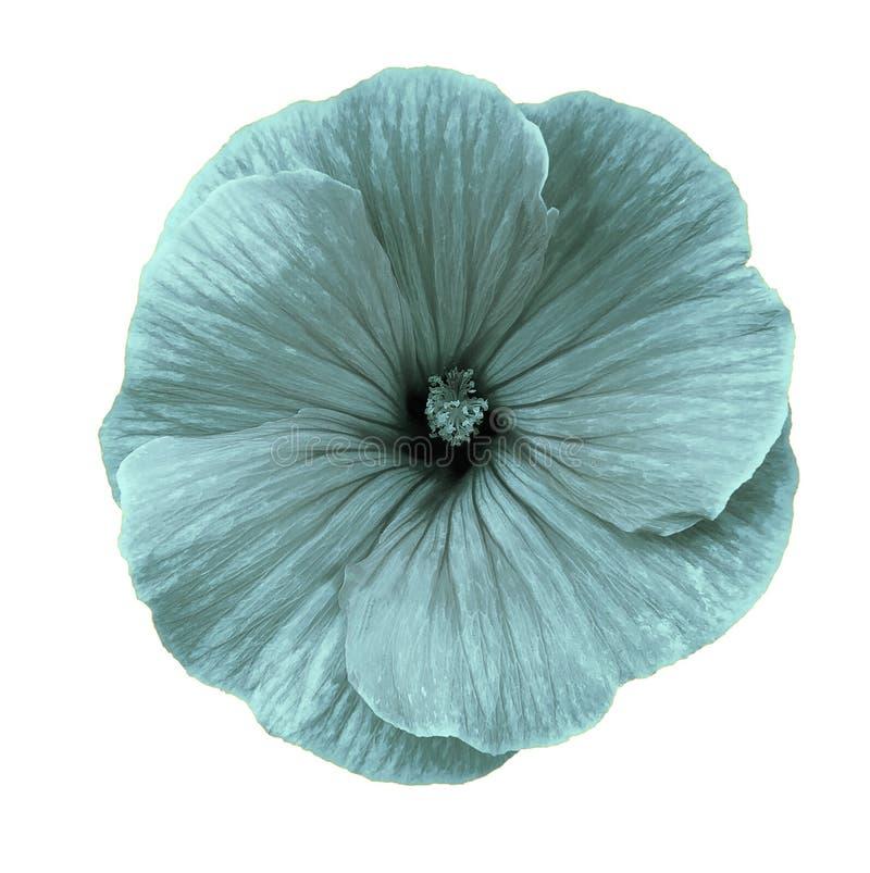 La fleur de turquoise de Lavatera sur un blanc a isolé le fond avec le chemin de coupure closeup Aucune ombres image stock