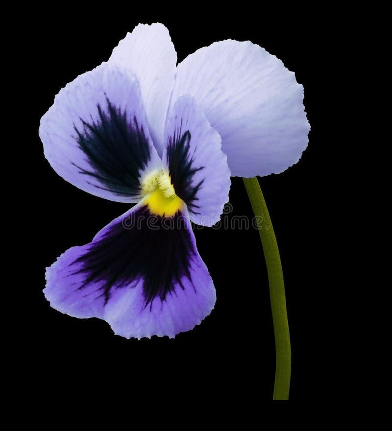 La fleur de violette de pensée sur le noir a isolé le fond avec le chemin de coupure Plan rapproché aucune ombres images libres de droits