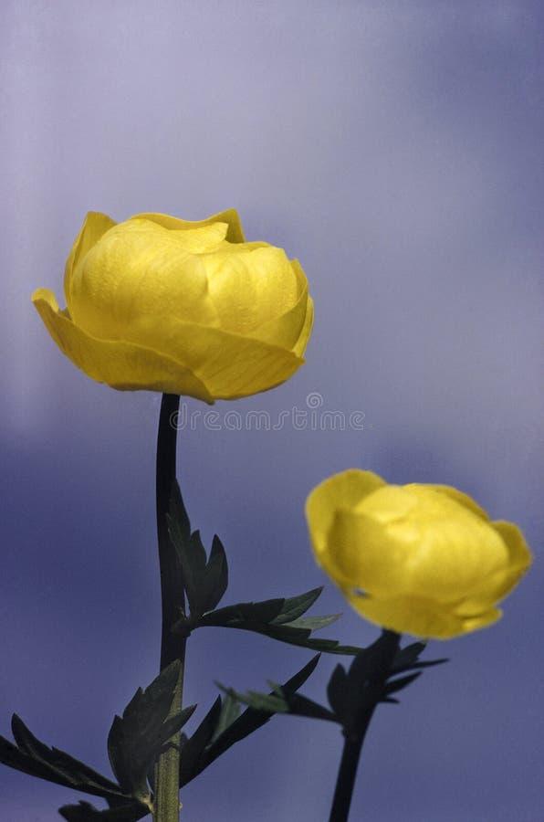 La fleur deux jaune avec gren des feuilles photographie stock