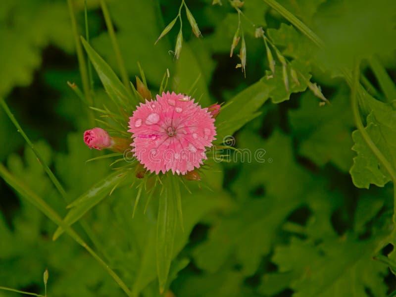 La fleur douce rose de William avec la rosée s'égoutte, vue aérienne - barbatus d'oeillet photographie stock libre de droits