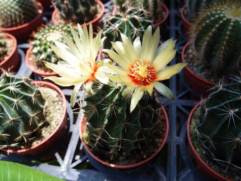 La fleur du cactus images libres de droits