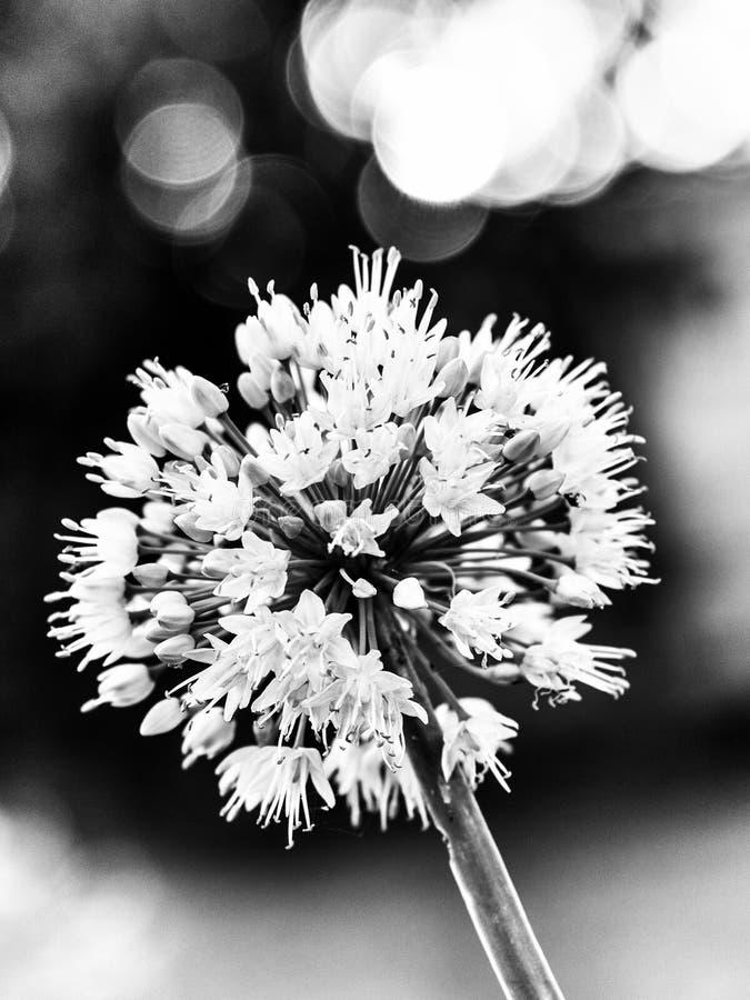 La fleur en noir et blanc avec le bokeh gentil photo stock