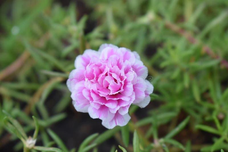 La fleur est rose de couleur photographie stock libre de droits