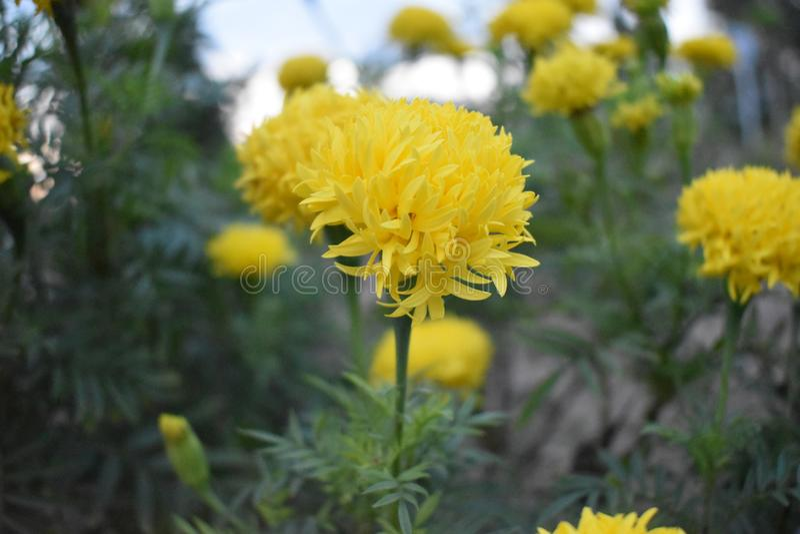 La fleur est souci images stock